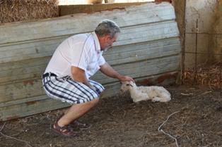 VIDEO – Cattolica che lavora: azienda di allevamento ovini Gambino