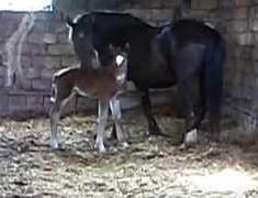 VIDEO. Puledra appena nata
